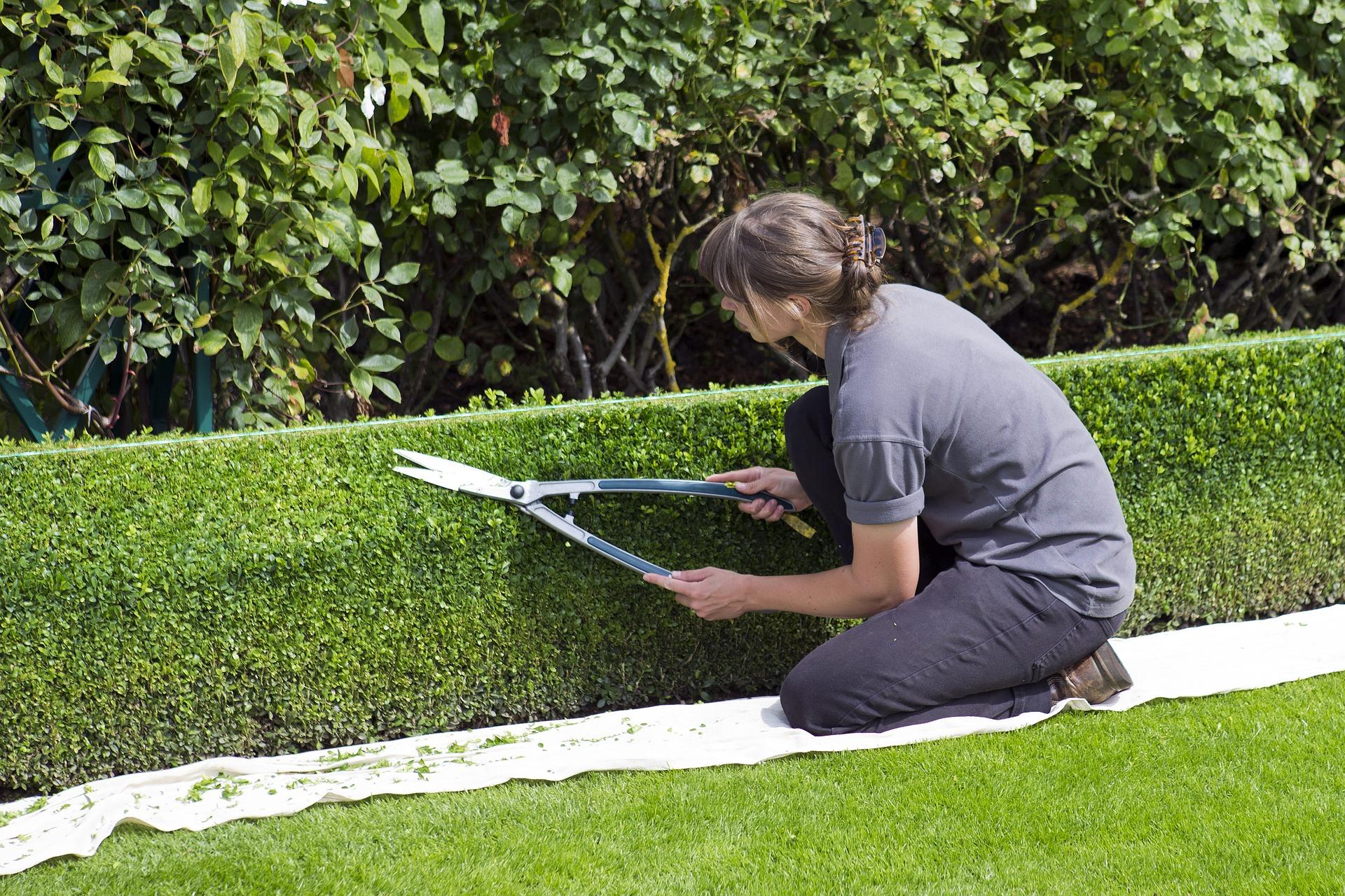 Une femme en train de tailler une haie dans un jardin avec un sécateur